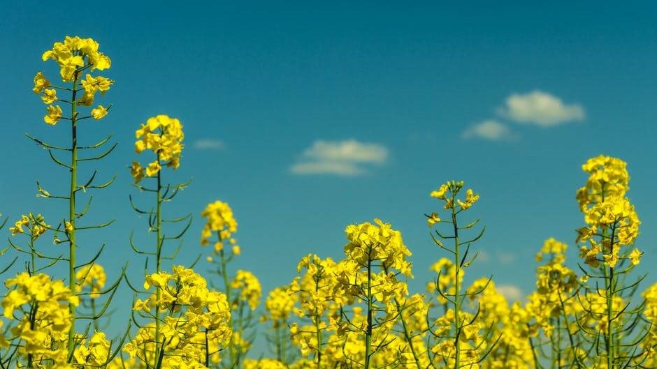 Ukraine's rapeseed exports may hit a 4-year high