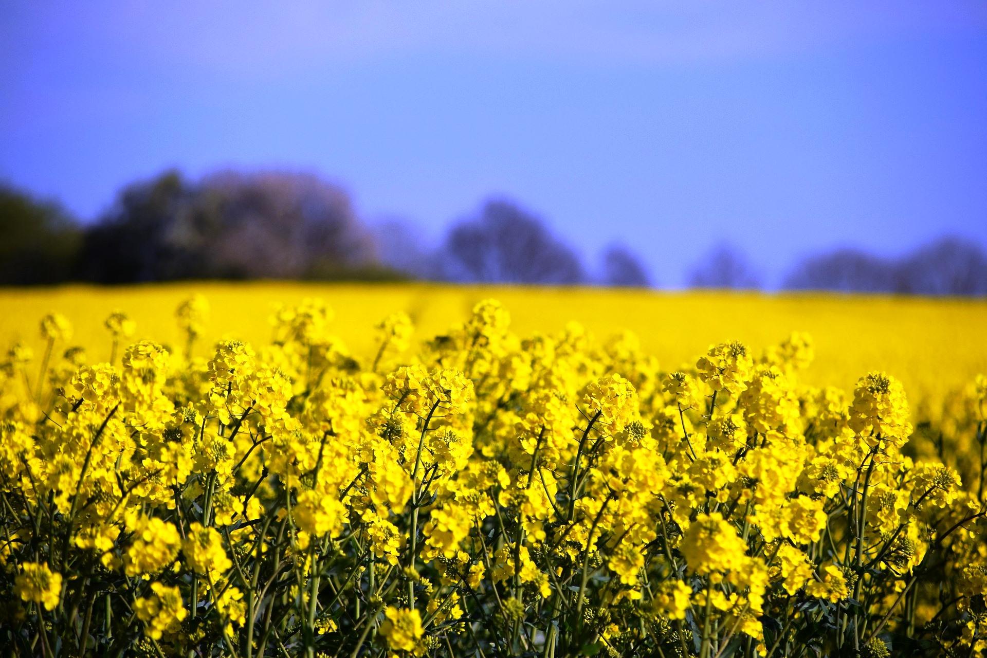 Romania leads EU rapeseed exporters