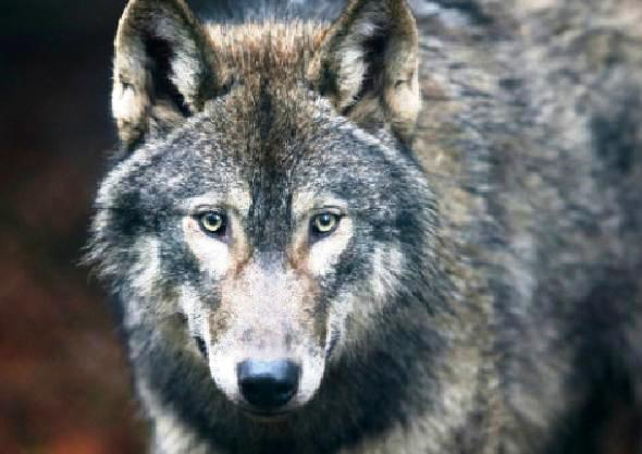 Sir David Attenborough opposes returning wolves to the wild‏