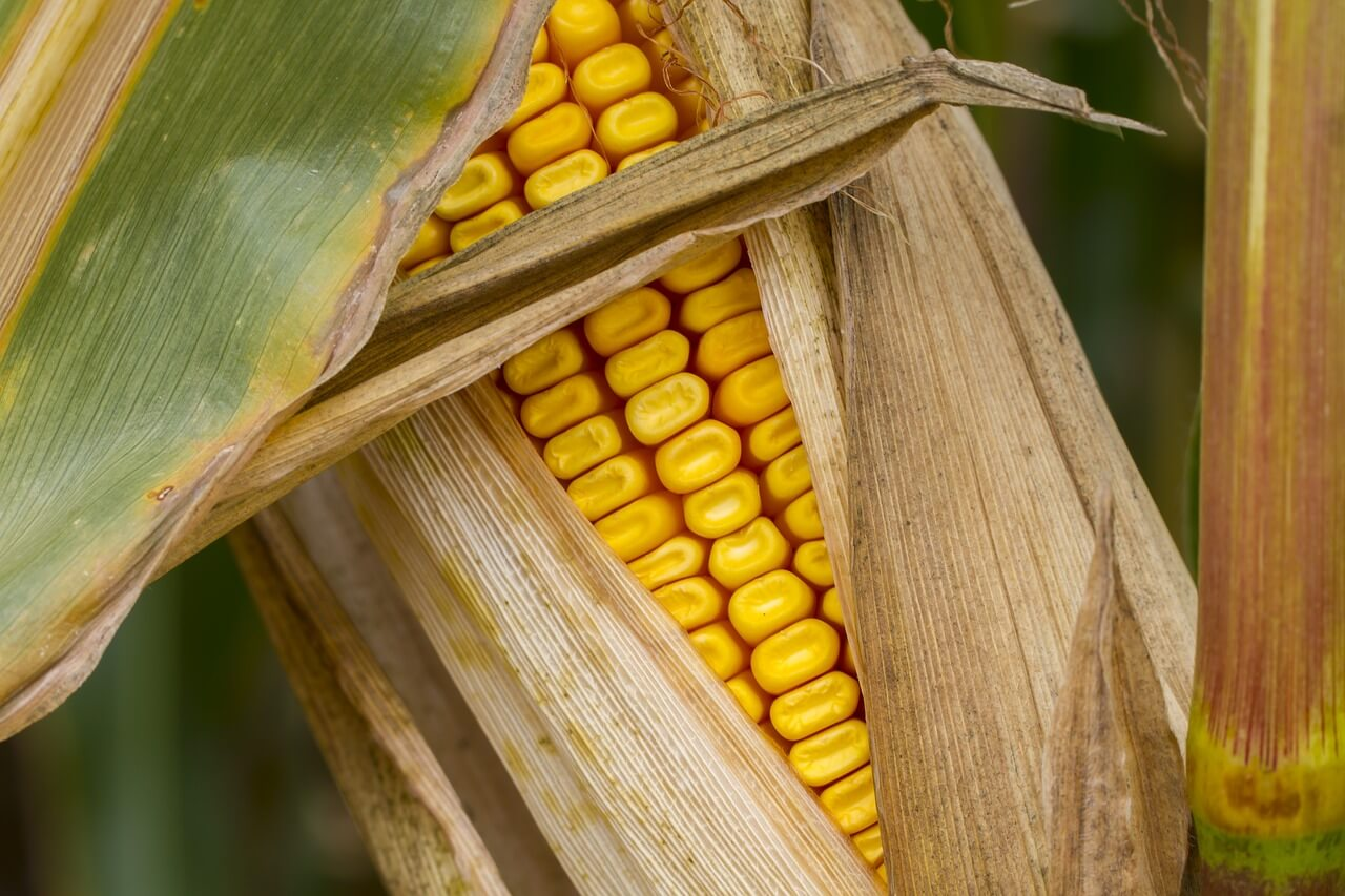 Corn market held steady last week as prices are expected to go slightly up