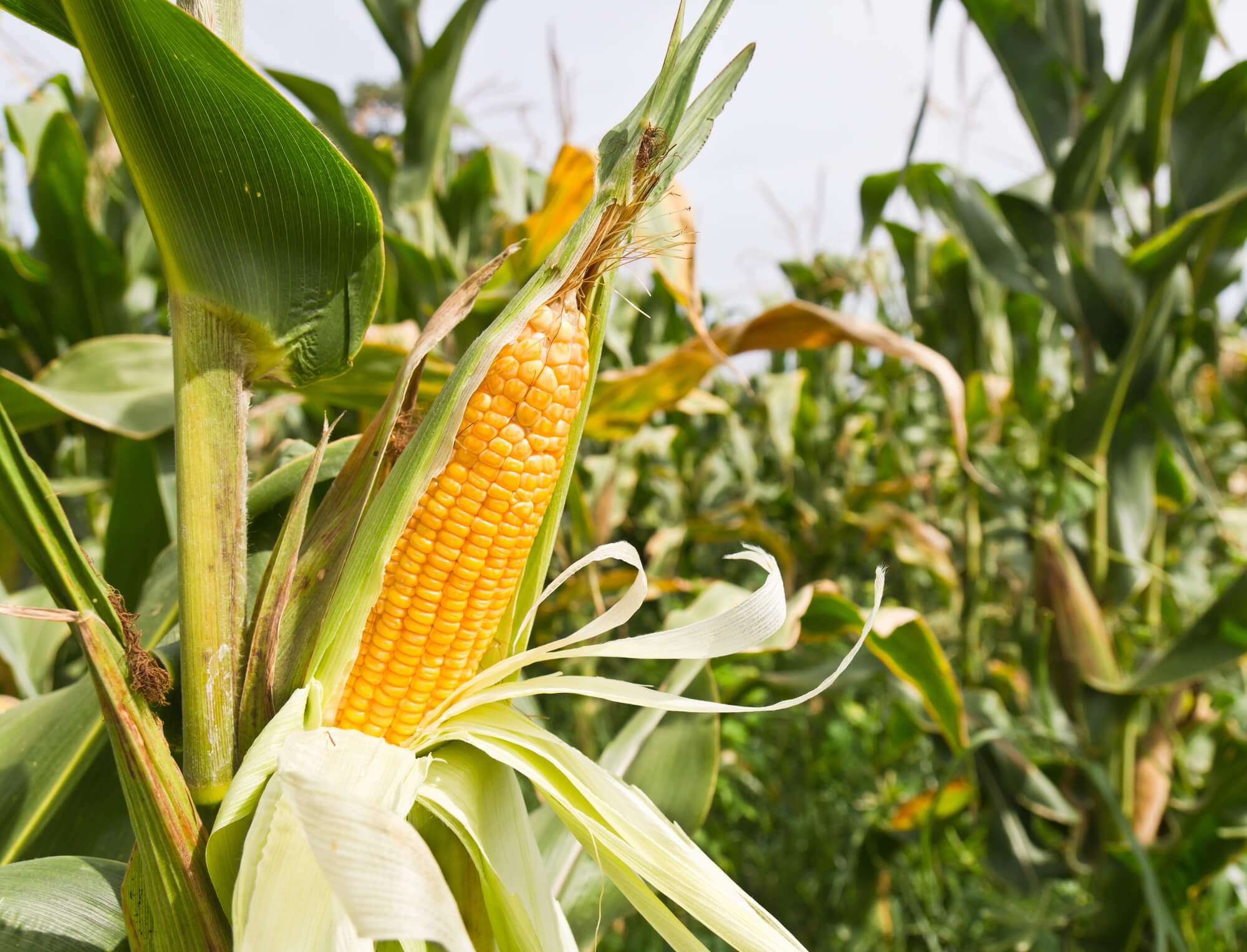 Ukraine corn producers mull 2018 intentions in light of new crop demand projections
