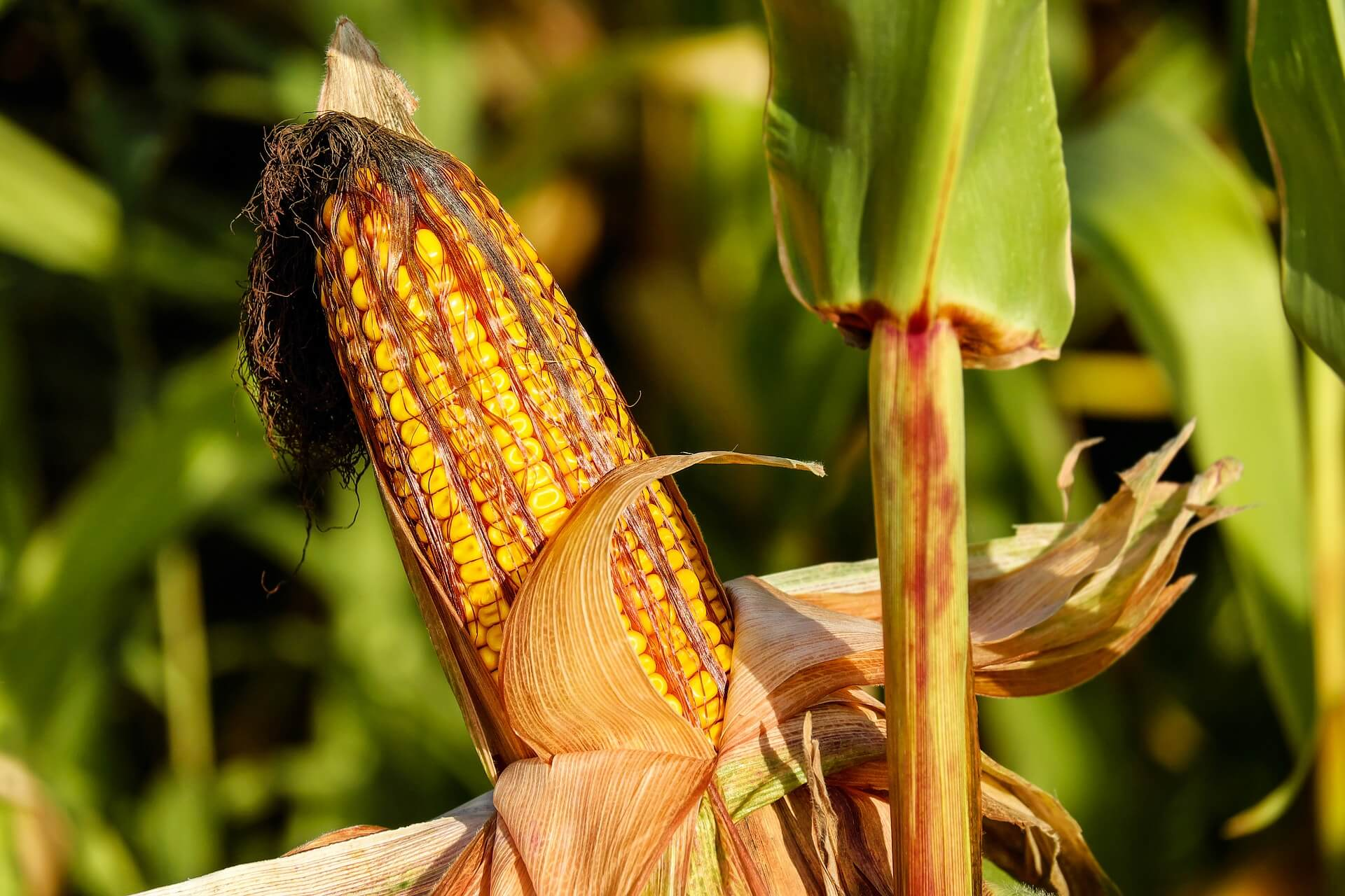 Corn market rallies as harvest nears completion