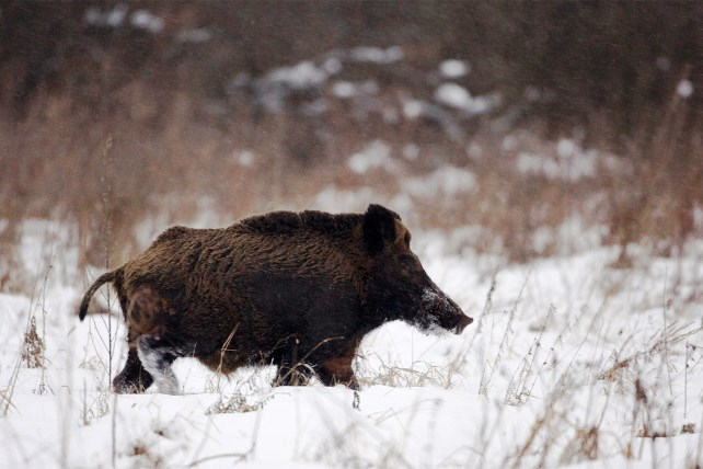 Chernobyl's radioactive boars invade Sweden
